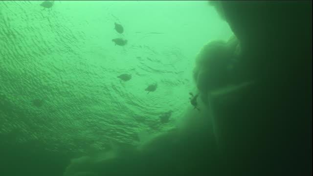 eider ducks dive in an opening in the sea ice. available in hd. - ホンケワタガモ点の映像素材/bロール