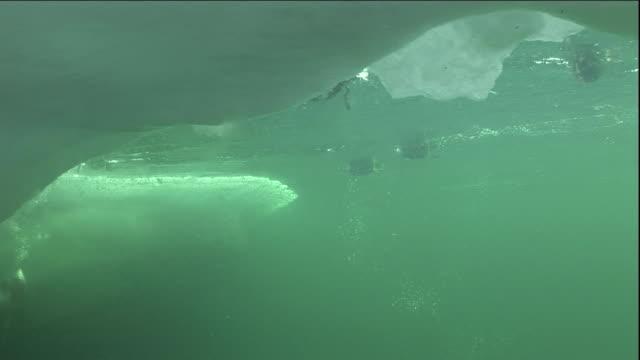 eider ducks dive into a polynya ice lake in arctic canada. available in hd. - ホンケワタガモ点の映像素材/bロール