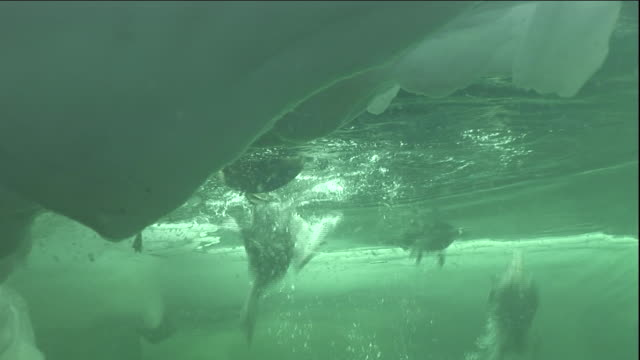 Eider ducks dive into a polynya ice lake in Arctic Canada. Available in HD.