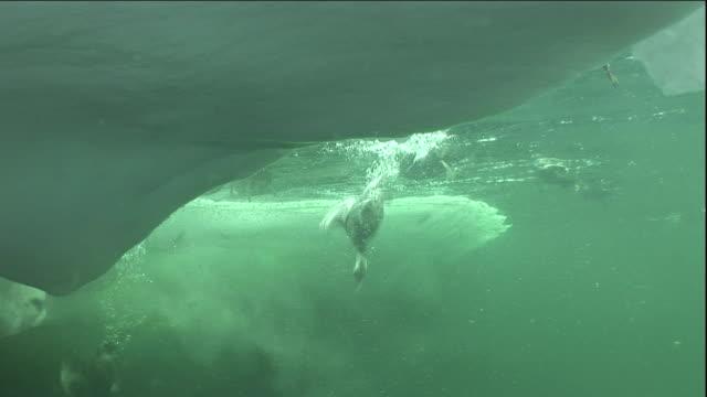 eider ducks dive into a polynya ice lake in arctic canada. - ホンケワタガモ点の映像素材/bロール