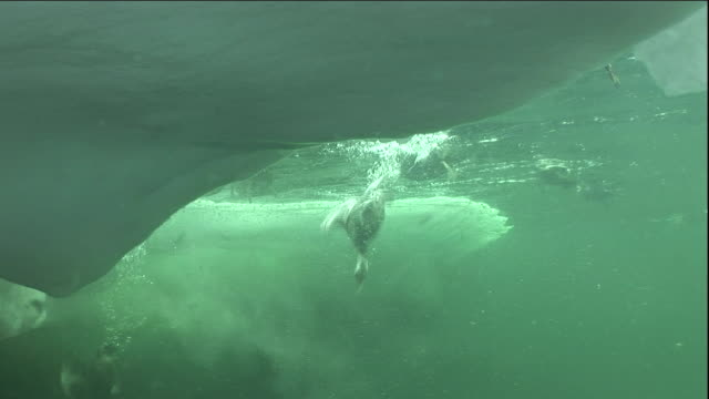 stockvideo's en b-roll-footage met eider ducks dive into a polynya ice lake in arctic canada. - arctis