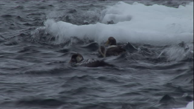 eider ducks float on a choppy polynya ice lake in arctic canada. available in hd. - eider duck stock videos & royalty-free footage