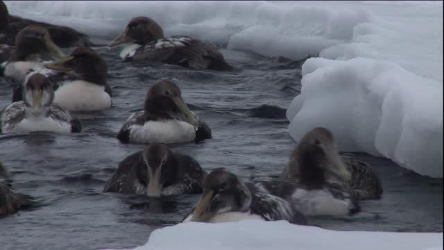 eider ducks float on a polynya. available in hd. - ホンケワタガモ点の映像素材/bロール