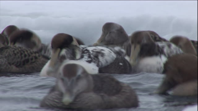 eider ducks float on a polynya ice lake in arctic canada. available in hd. - eider duck stock videos & royalty-free footage