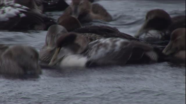 eider ducks float on a polynya in arctic canada. available in hd. - ホンケワタガモ点の映像素材/bロール