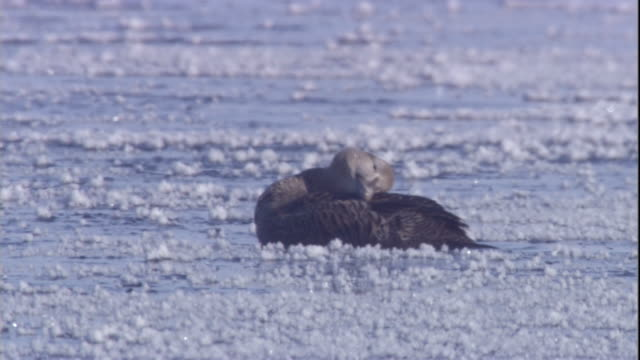 eider ducks floats in a polynya on an icy sea in the canadian arctic. available in hd. - eider duck stock videos & royalty-free footage