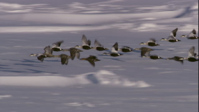 eider ducks fly in formation above sea ice. available in hd. - migrazione animale video stock e b–roll