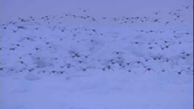 eider ducks fly over pack ice in the canadian arctic. available in hd. - eider duck stock videos & royalty-free footage