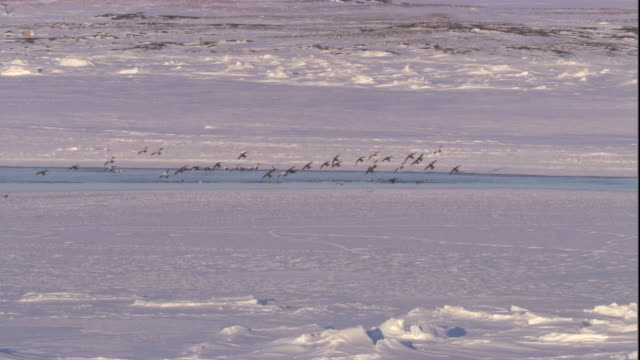 eider ducks fly over sea ice and land into icy water. available in hd. - ホンケワタガモ点の映像素材/bロール
