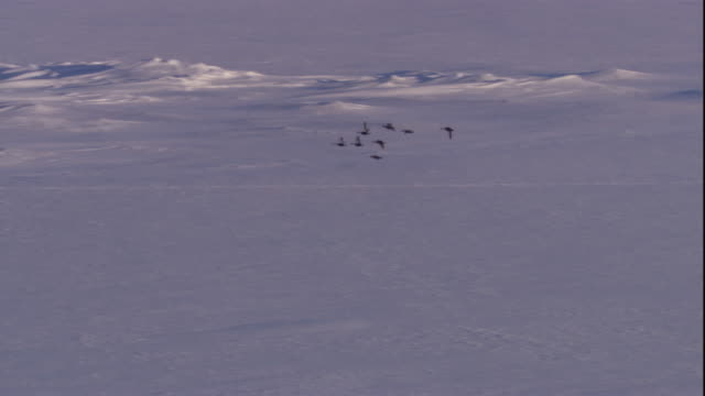 eider ducks fly over snowy landscape in canada. available in hd. - eider duck stock videos & royalty-free footage