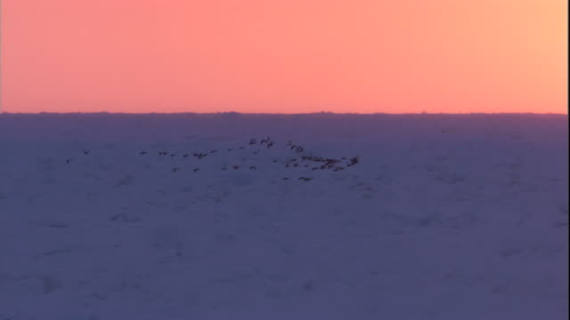 eider ducks fly over the frozen tundra at sunset in arctic canada. available in hd. - ホンケワタガモ点の映像素材/bロール