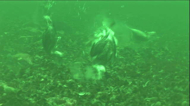 eider ducks forage for mussels in a polyna ice lake in arctic canada. available in hd. - ホンケワタガモ点の映像素材/bロール