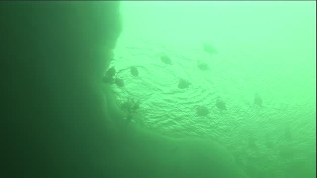 eider ducks swim and dive near sea ice in polynya. available in hd. - ホンケワタガモ点の映像素材/bロール