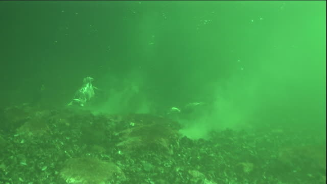 eider ducks swim back to the surface after foraging for mussels underwater. available in hd. - ホンケワタガモ点の映像素材/bロール
