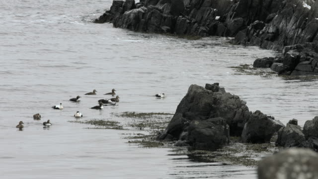 eider ducks swim off the coast of northern iceland. - eider duck stock videos & royalty-free footage