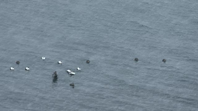 eider ducks swim off the coast of the snaefellsnes peninsula in iceland.  - eider duck stock videos & royalty-free footage