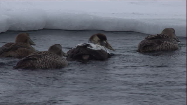 eider ducks swim on a polynya ice lake in arctic canada. available in hd. - eider duck stock videos & royalty-free footage