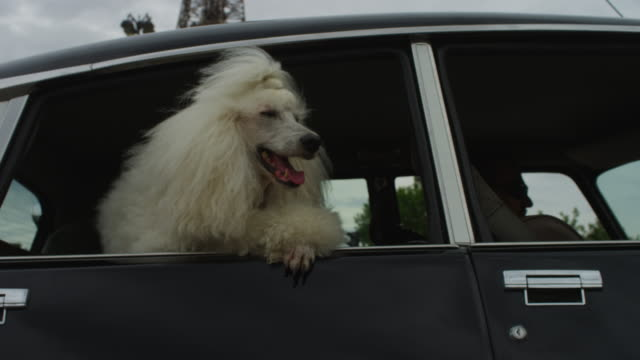 vídeos de stock, filmes e b-roll de cu eiffel tower as white poodle dog pulls up in citroen ds 11 - torre eiffel