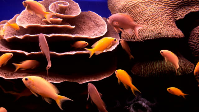 eilat marine centre- sea goldies (pseudanthias squamipinnis) swimming in aquarium with orange red coral reef in background  - goldie stock videos & royalty-free footage