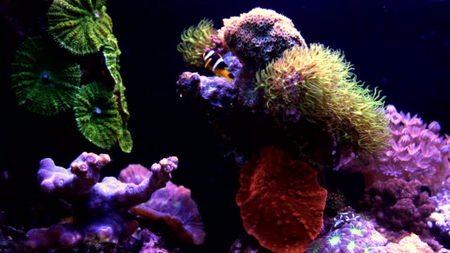 Eilat Marine centre-Clownfish swimming in aquarium with coral reef in background , Israel