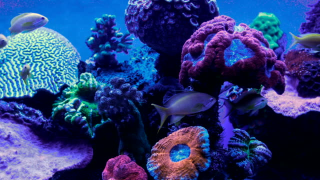 Eilat Marine centre-Group of tropical fish -sea goldies swimming in aquarium with coral reef in background , Israel