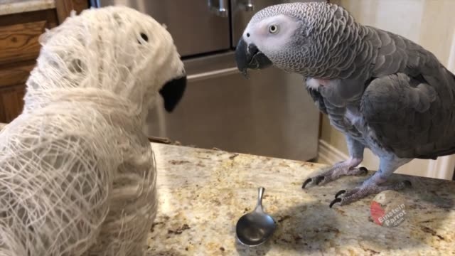 """""""einstein waves hello to this unusual looking halloween intruder. upon closer inspection and a peck on the beak he realizes it's a mummy! the mummy... - push in stock videos & royalty-free footage"""
