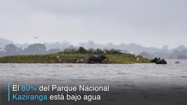 El 80% del Parque Nacional Kaziranga hogar de la mayor poblacion mundial de rinocerontes de un cuerno esta bajo agua por las inundaciones en India