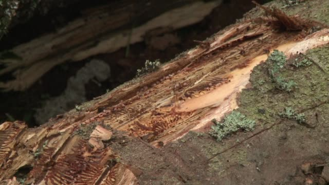 vídeos de stock, filmes e b-roll de el bosque polaco de bialowieza es el centro de un agrio debate entre los ecologistas y las autoridades sobre una plaga de escarabajos en las cortezas... - casca de árvore