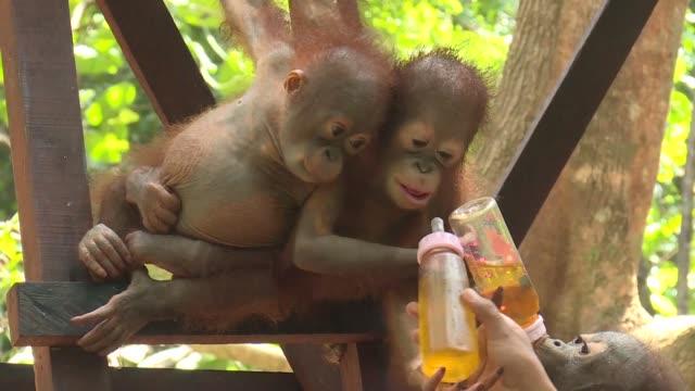 el centro de rescate internacional de animales ensena a los orangutanes bebes a valerse por si mismos tras perder a sus madres a manos de cazadores e... - plantation stock videos & royalty-free footage