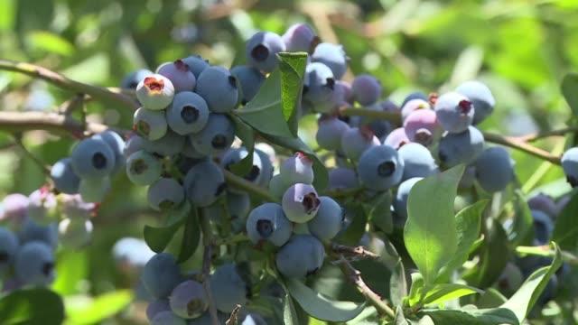 el inusual frío de la última primavera retraso la cosecha de arándanos en chile, el primer productor de la fruta en el hemisferio sur, lo cual... - fruta stock videos & royalty-free footage