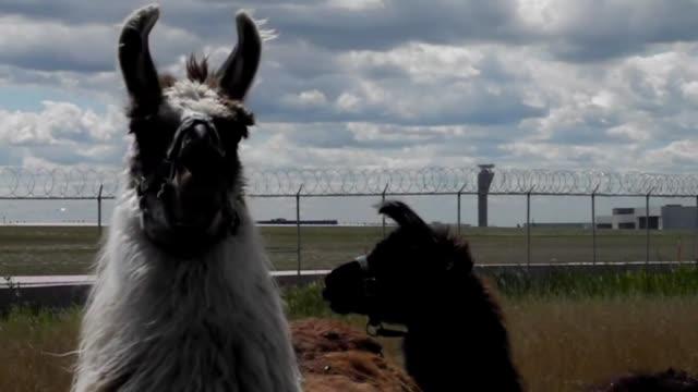 el muy concurrido aeropuerto ohare de chicago adquirio un nuevo equipo para mantener el cesped podado una manada de cabras ovejas burros y llamas... - manada stock videos and b-roll footage