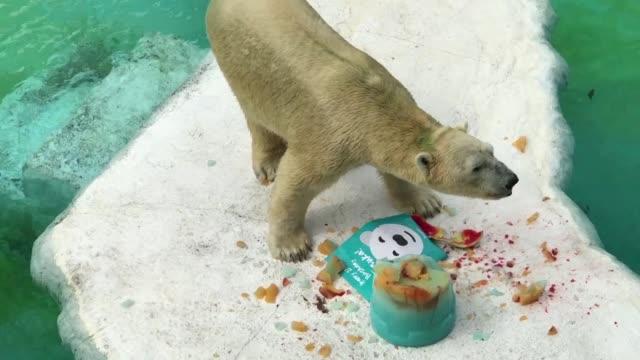el oso polar inuka del zoo de singapur celebro el martes su cumpleanos numero 27 una edad equivalente a mas de 70 anos en terminos humanos - numero stock videos & royalty-free footage