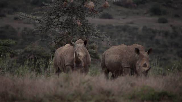 El traspaso de 11 rinocerontes en julio a un parque nacional del sureste de Kenia no era en principio mas que una mera formalidad