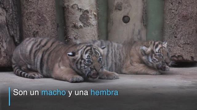 El zoologico de Praga presento a sus dos nuevos habitantes dos cachorros de tigre malayo una especia amenazada de extincion