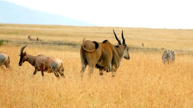 Eland antelope grazing at wild