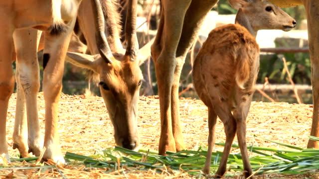 vídeos de stock, filmes e b-roll de elande - antílope mamífero ungulado