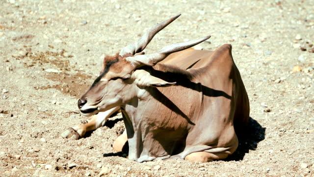 elenantilope (hd - antilope stock-videos und b-roll-filmmaterial