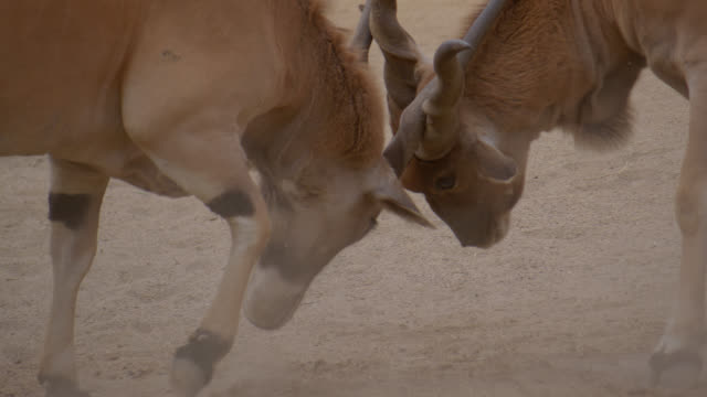 elands - fighting stock videos & royalty-free footage