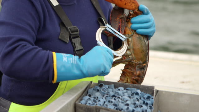 elastics are put on lobster claws - lobster stock videos & royalty-free footage