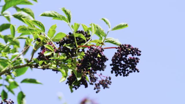 elderberries (sambucus nigra) ripen against blue sky, nottinghamshire, england - nottinghamshire stock videos & royalty-free footage