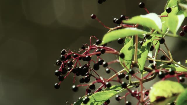 elderberries (sambucus nigra) ripen over sparkling river, nottinghamshire, england - nottinghamshire stock videos & royalty-free footage