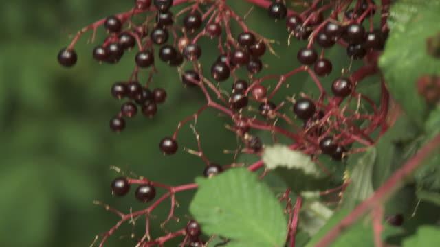 elderberry cluster on vine - ripe stock videos & royalty-free footage
