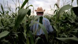 Elderly Farmer In A Cowboy Hat Goes Through the Corn Field, View Back.