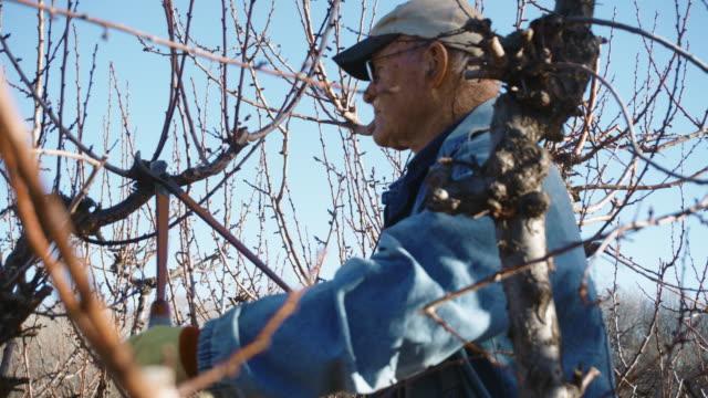 elderly white farmer man prunes fruit tree - ladder stock videos & royalty-free footage