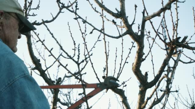 elderly white farmer man prunes fruit trees - pruning stock videos & royalty-free footage