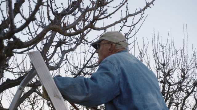 elderly white farmer man prunes fruit trees - ladder stock videos and b-roll footage