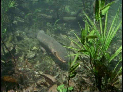 ms electric eel, electrophorus electricus, swims to camera, amazon, south america - south america stock videos & royalty-free footage