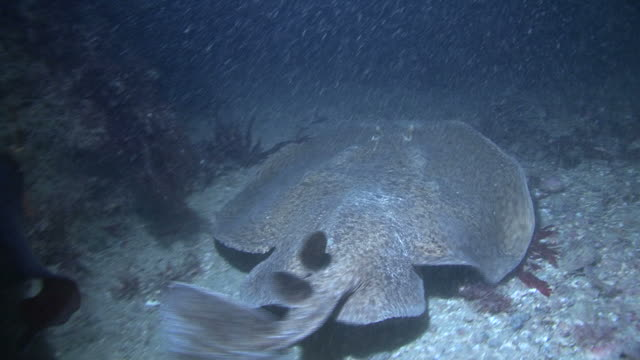 electric ray. channel islands, british waters - electric ray stock videos & royalty-free footage