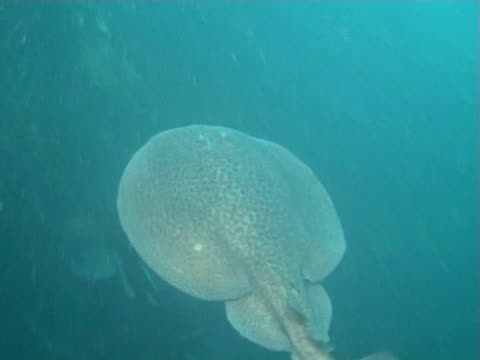 stockvideo's en b-roll-footage met electric ray swimming through kelp forest - kelp