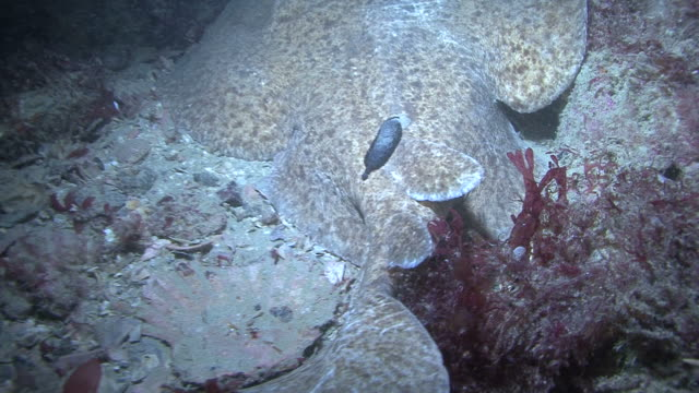 electric ray (torpedo marmorata) with parasite, guernsey, english channel, uk - guernsey stock videos & royalty-free footage